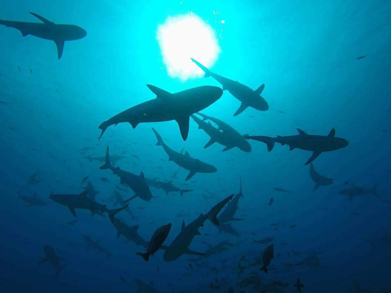 Jack Dykes sharks